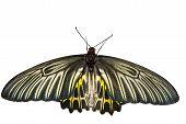 Top View Open Wings Of Common Birdwing Butterfly