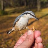 Nuthatch On A Human Hand
