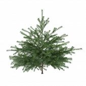 stock photo of pinus  - Little pine tree bush isolated - JPG