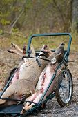 pic of deer meat  - Killed deer on the cart harvested by hunters - JPG