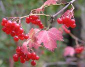 Branch Of A Viburnum