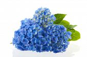 image of hydrangea  - blue hydrangea flowers isolated over white background - JPG
