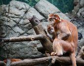 Pair Of Red Monkeys