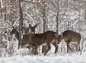 foto of herbivores  - Group of whitetail deer doe - JPG