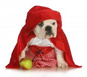 little red riding hood - english bulldog dressed up in red dress and cape with apple on white background