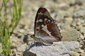 Aglais Iris (purple Emperor) Butterfly