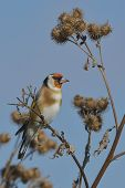 European Goldfinch On The Burdock - Carduelis Carduelis