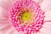 Close Up Shot Of A Pink Gerbera