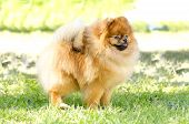 stock photo of miniature pomeranian spitz puppy  - A side view of a small young beautiful fluffy orange pomeranian puppy dog standing on the grass - JPG