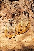 Meerkats sitting against a rock.