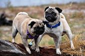 stock photo of pug  - two fawn pug dogs playing outside looking around - JPG