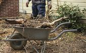 stock photo of prunes  - Wheelbarrow with pruned plants and branches in garden