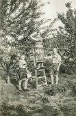GANSERNDORF, AUSTRIA, CIRCA 1930s: Vintage photo of farmers family picking fruits in orchard, Ganserndorf, Austria, circa 1930s