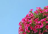 picture of petunia  - Many flowers pink petunias on a blue background - JPG