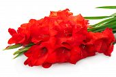 pic of gladiola  - The red gladiolus are isolated on white background - JPG