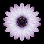 Pink Purple Mandala Flower Kaleidoscope Isolated On Black