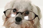 Smart Dog With Glasses