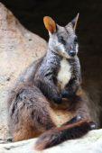 A rock wallaby