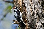 Downy Woodpecker Hard At Work Building Its Home