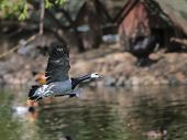 Barnacle Goose In Flight