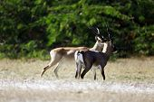 image of black tail deer  - Pair of blackbucks are standing in the forest - JPG