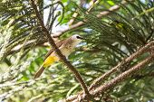 picture of bulbul  - The Yellow - JPG