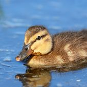 stock photo of duck pond  - Little mallard duckling swimming in a pond - JPG