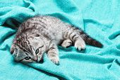 foto of scottish-fold  - bored Scottish fold kitten lying on the bed - JPG