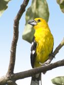 Southern_yellow_grosbeak