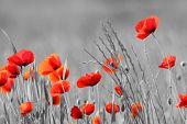 stock photo of poppy flower  - Red Poppy flowers with black and white background - JPG