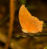 The Great Assyrian Butterfly On Leaf