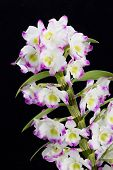 Dendrobium Orchid hybrids flower Isolated on black
