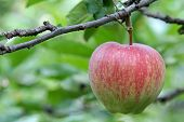 Apple tree with fruit in Trentino-Alto Adige, Italy