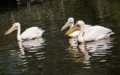 Great White Pelican (pelecanus Onocrotalus) On The Lake