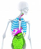 3D Skeleton With Coloured Human Organs. Isolated. Contains Clipping Path