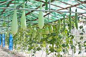 Bottle Gourd, Smooth Loofah And Winter Melon