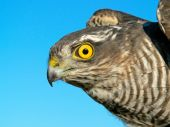 Birds Of Europe And World - Sparrow-hawk poster