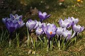 Group Striped Crocus Flowers