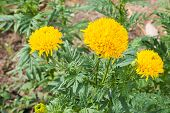 picture of marigold  - Yellow marigold flowers with leaves in a gardenTagetes erecta - JPG