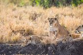 image of lioness  - Lion pride in Serengeti Tanzania - JPG