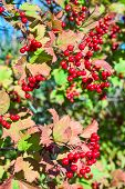 Ripe Red Viburnum On Branch Against Green Leaves