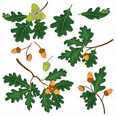 picture of acorn  - Set oak branches with green leaves and acorns on a white background - JPG