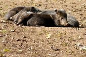 Relaxing wild pigs