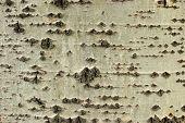 Crust Layer Of Poplar
