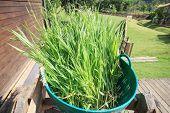 Green Leaves Of Ruzi Grass For Castle Farm
