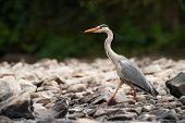 Grey Heron walking over rocks