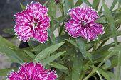 Macro Photo Detail Of Carnations