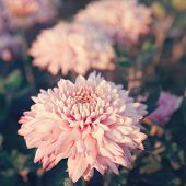Pink Chrysanthemums flower - genus of flowering herbaceous plants with beautiful bokeh