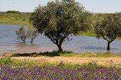 Árboles de oliva