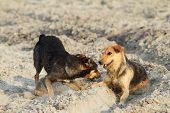 Dogs Playing On Sandy Beach
